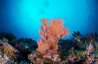 Other gorgonian sea fan