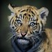 Tiger Cub 003 by Brookshaw Photography