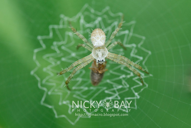 Orbweaver Spider - Argiope sp. - DSC_5090