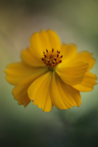 Lovely Yellow~ by conniee4