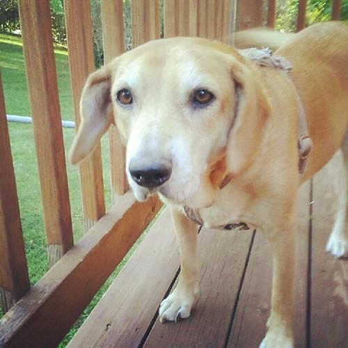 My little girl #hound #mutt #dogs #rescue #dogsofinstagram #dogstagram #petstagram #adoptdontshop #instadog #deck #tailwag