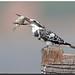 Pied Kingfisher (Ceryle rudis) by birdsforlife