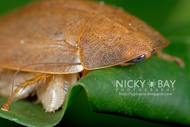 Forest Cockroach (Blattodea) - DSC_0863