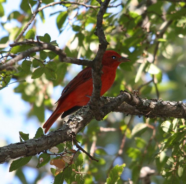 summer tanager (1)