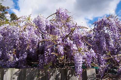 Wisteria over the fence