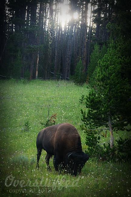 IMG_4264 EV Day 4 Yellowstone Bison web