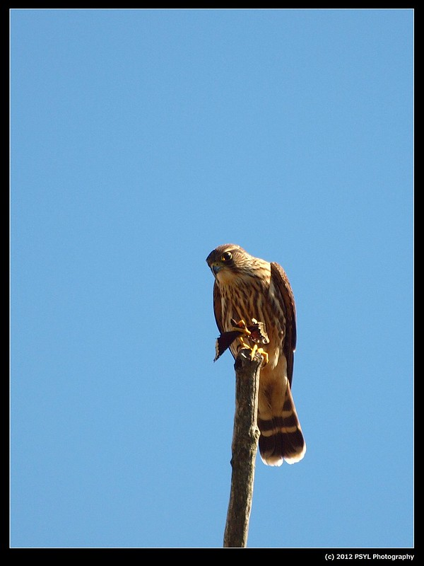 Merlin eating a Mourning Cloak butterfly