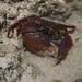 """""""Angry crab"""""""