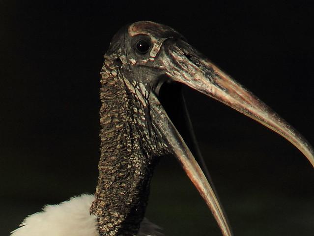 Wood Stork close 20120928