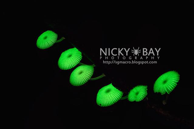 Bioluminescent Fungi (Mycena illuminans?) - DSC_8033