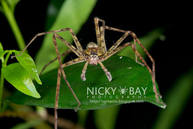 Huntsman Spider (Sparassidae) - DSC_8005