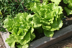 lettuce green summer crisp Nevada 068
