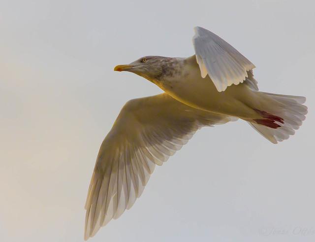 Sunlit Herring Gull