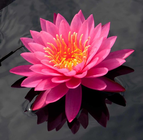 Nymphaea 'Rose Arey' LG 9-30-12 4411 lo-res
