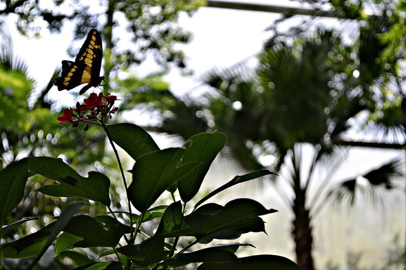 butterflies5