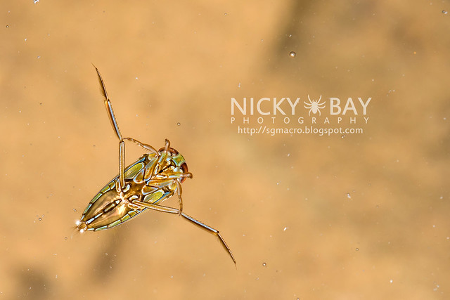 Water Boatman (Notonectidae) - DSC_5138