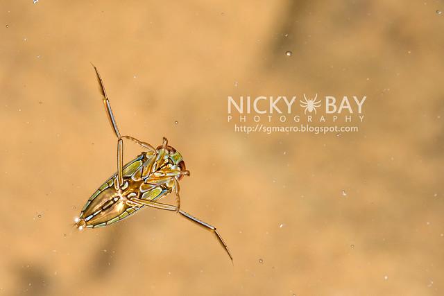 Water Boatman (Corixidae) - DSC_5138