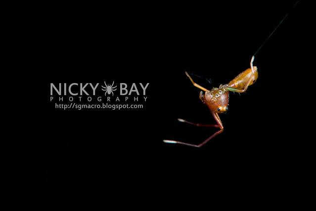 Ant-mimic Crab Spider (Amyciaea lineatipes) - DSC_5147