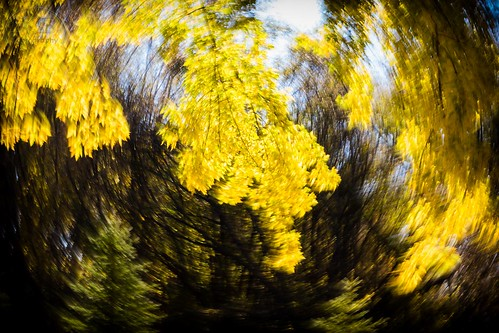 autumn backlight colors deciduous dizzy evergreen facebook fall flickr landscape leaves maple nature plants spinning sunny swirl trees vignette whirl yellow