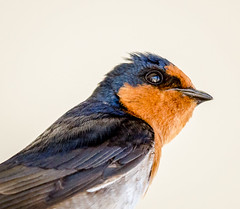 animal, robin, wing, fauna, close-up, blue, swallow, beak, bird, wildlife,