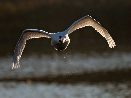 Mute Swan-dawn flight