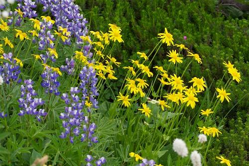 Wildflowers - Lupine, Broadleaf Arnica