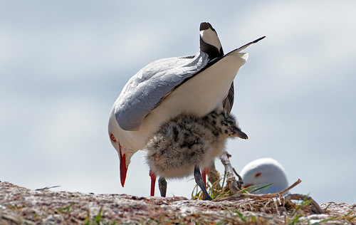 Red billed gull and chick.
