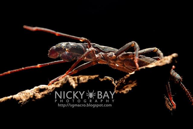 Whip Scorpion (Thelyphonida) - DSC_3141