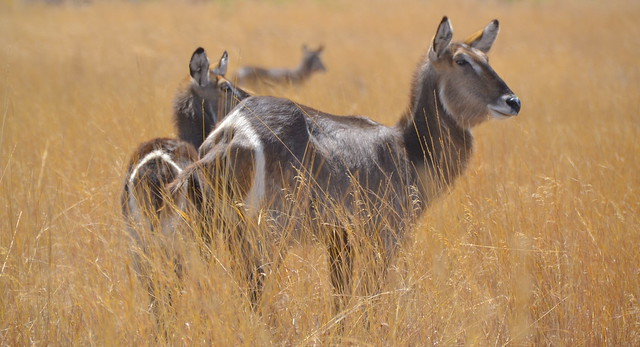 Waterbuck in golden veld
