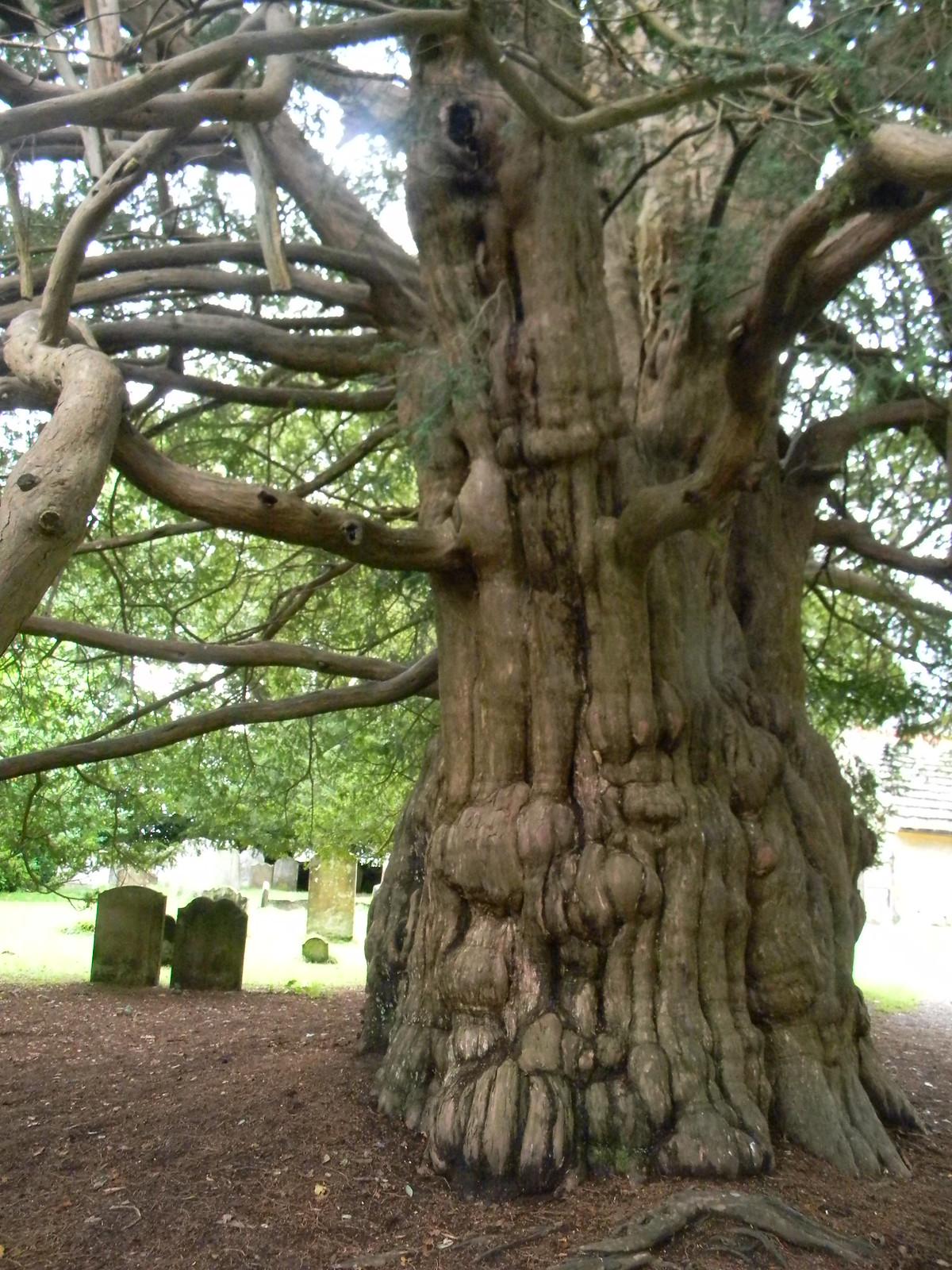 Yew, Slaugham churchyard Balcombe Circular