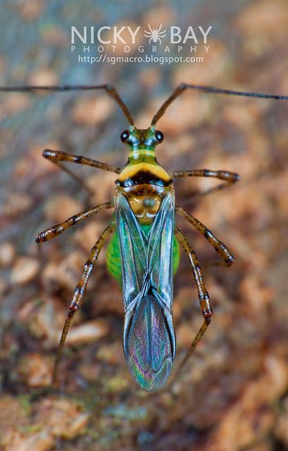 Mirid Bug? (Miridae?) - DSC_2465