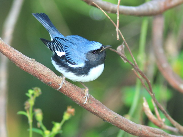Black-throated Blue Warbler male 5-20121009
