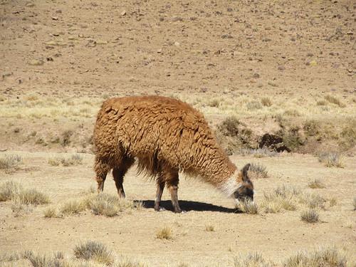 Le Sud Lipez: un lama brun clair