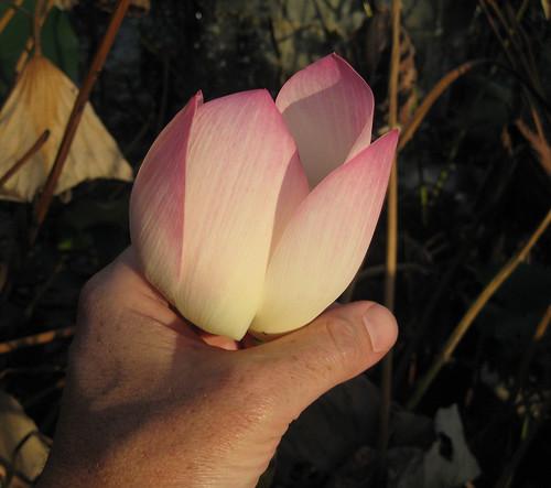LotusFlower1