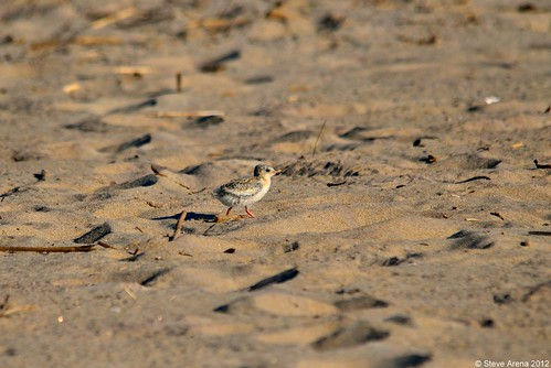 Least Tern (Sternula antillarum) chick