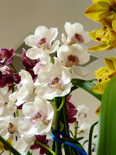 Cymbidium Lovely Angel 'Bubbles'