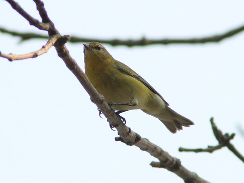 Tennessee Warbler 20120829