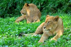 ライオン (Lion)