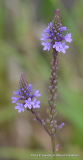 Verbena hastata, Common/Swamp Verbena