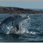 Grand dauphin ( Tursiops truncatus )