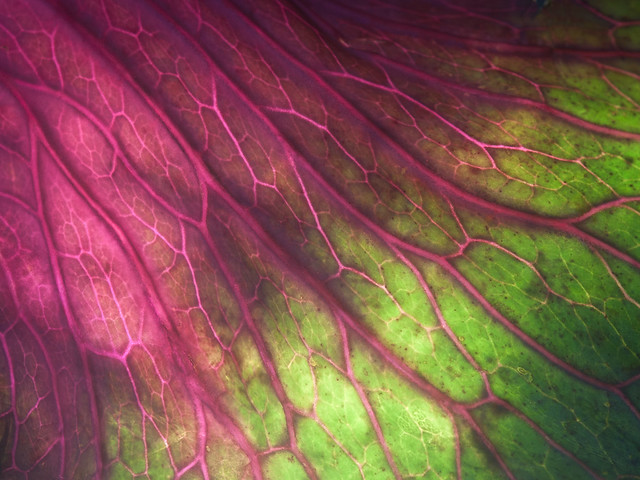 red cabbage leaf