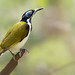 Blue-faced honey eater