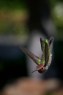 Dive Bomber, Male Anna's Hummingbird