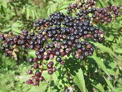 blackberry(0.0), shrub(0.0), berry(0.0), flower(0.0), crataegus pinnatifida(0.0), schisandra(0.0), boysenberry(0.0), produce(1.0), fruit(1.0), food(1.0), empetrum(1.0), elderberry(1.0),
