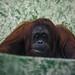 Orangutan 003 by steve morel