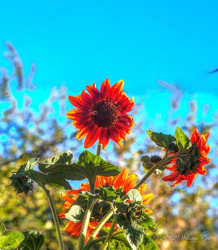 canon natureflowerssunflowerhdrphotomatix