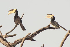 cormorant(0.0), accipitriformes(0.0), animal(1.0), hornbill(1.0), branch(1.0), fauna(1.0), coraciiformes(1.0), beak(1.0), bird(1.0), wildlife(1.0),