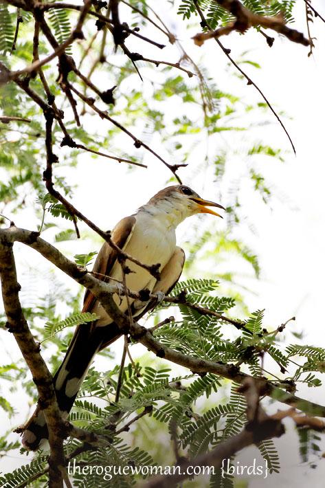 090212_04_bird_pass_yellowBilledCuckoo