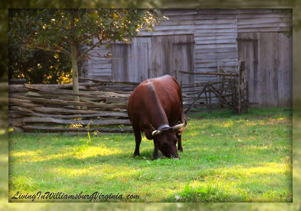 Peyton's Ox