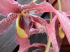 Paphinia herrerae